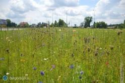 Pierwsza łąka kwietna wBiłgoraju