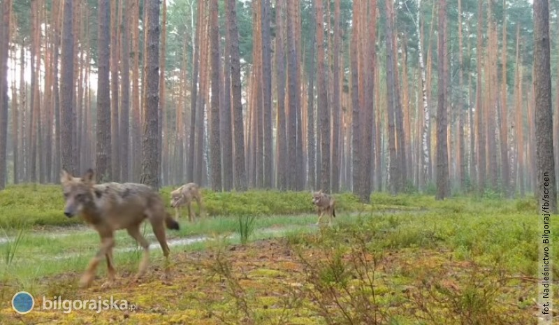 Wilki wbiłgorajskich lasach